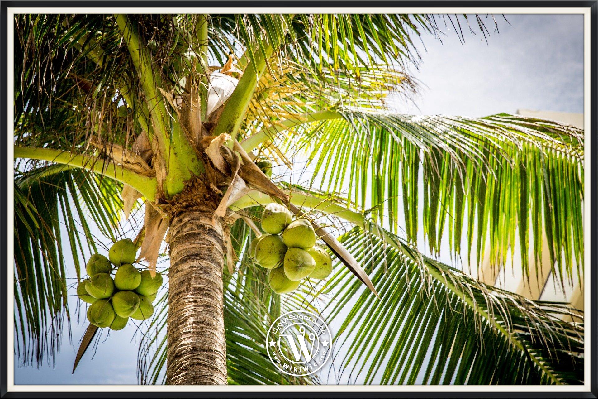 زراعة شجرة جوز الهند سعر شتلة شجرة جوز الهند Wiki Wic ويكي ويك